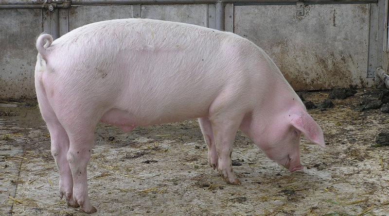 Hausschwein im Stall (Symbol-)Foto: Joshua Lutz/Gemeinfrei