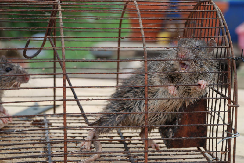 Ratten in einer Lebendfalle - diese beiden haben Glück: Sie dürfen an der Saar wieder raus (Foto: Privat)