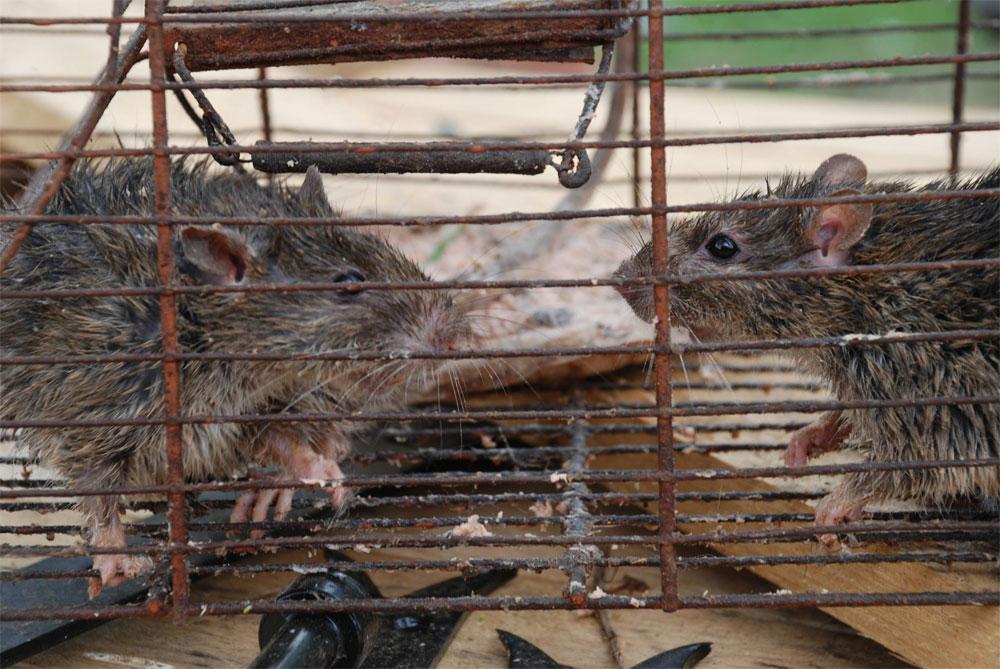 Ratten sind da wo der Mensch ist - hier Exemplare aus Fürstenhausen (Foto: Privat)