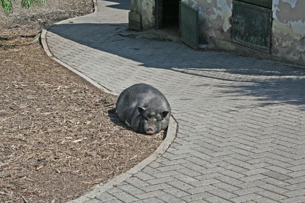 Dieses Schwein fühlt sich im Zoo offensichtlich wohl (Foto: Hell)