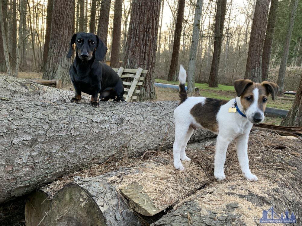 Die Forstdiensthunde Anton und Quintus. (Quelle: Stadt Völklingen / Verena Lamy)
