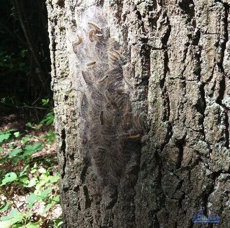 Ein Nest mit Eichenprozessionsspinnern an einer Eiche (Quelle: Stadt Völklingen, N. Holzer)