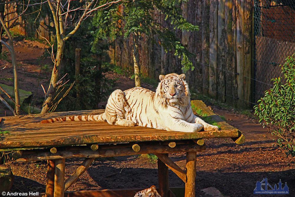 Zoo d' Amneville`in Frankreich mit weiße Tiger, Papageien, Orang Utas, Eisbär und co (Foto: Hell)