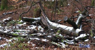 Städtisches Forstamt fällt aus Sicherheitsgründen alte Buchen am Wanderweg